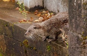 Otter on the Caledonian Canal James Fairbairns