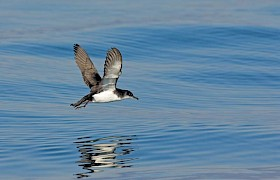 Perfsect fishing weather for the Manx Shearwater
