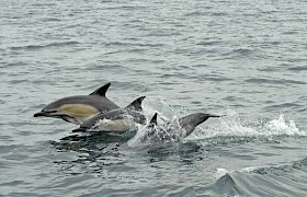 Common Dolphins alongside the boat