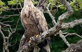 White tailed eagle seen on most Skye cruises