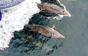 Dolphins on our Skye and Small Isles cruise
