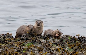Otters spotted on our Skye cruises