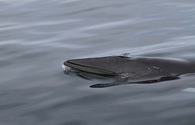 A close view of a Minke whale on our Far Flung Islands cruise