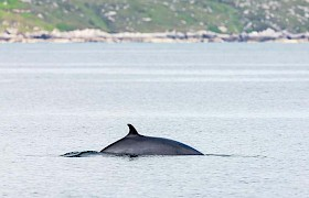 A Minke whale by guest Nigel Spencer