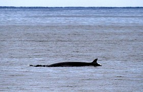 A Minke whale off Mingulay