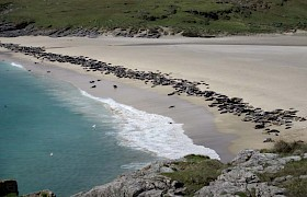 The grey seal colony ashore on Mingulay Bay