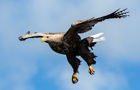 white-tailed eagles are seen on every cruise of the Hebrides