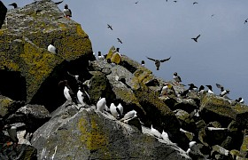 Puffin magic on a cruise to the Shiant Isles