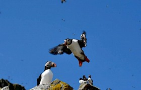 Wonderful puffin colonies at the Shiant Isles