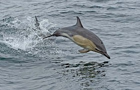 Common Dolphin jumping beside the Elizabeth G