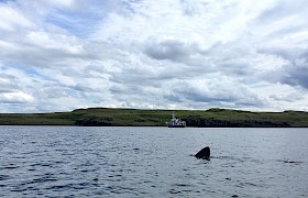 Basking Shark off Eigg