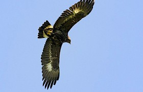 Golden Eagle, Canna, Small Isles Nigel Spencer