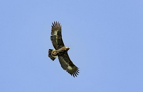 Golden Eagle, Canna Small Isles Nigel Spencer