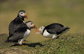 Nigel Spencer puffins