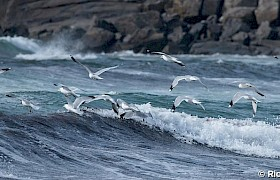 Herring gulls guest Richard Rees