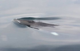 Minke whale Sam Udale - Smith