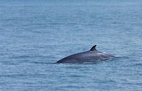 minke whale Nigel Spencer