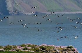 puffins Sanday, Canna Chris Gomersall