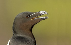 razorbill Nigel Spencer