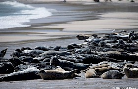 Seals on Mingulay guest Robert Rees