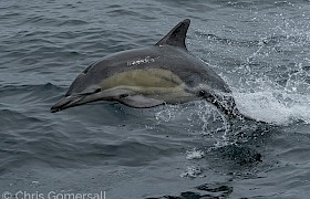 Common dolphin photo Chris Gomersall