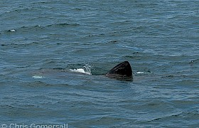 Basking shark Chris Gomersall