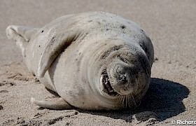 chuckling seal on Mingulay