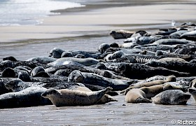 seals hauled out on Mingulay Bay