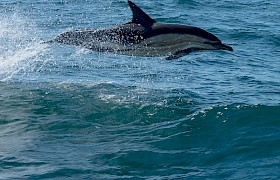 common dolphins crossing the Minch