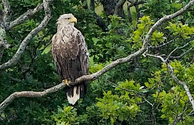Guest Bob Brewer white-tailed eagle