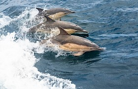 Short-beaked Common Dolphins by Nigel Spencer