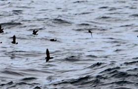 Storm Petrel Will Smith