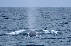 Fin Whale Lynsey Bland
