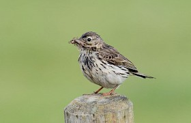 Meadow Pipit Alan and Janet Dixon