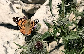 Painted Lady butterfly Lynsey Bland