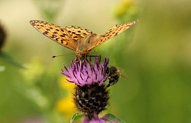 Pearl bordered fritillary on knapweed