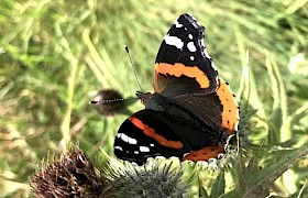 Red Admiral Butterfly on Canna Lynsey Bland