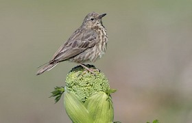 Rock Pipit Alan and Janet Dixon