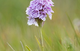 spotted orchid by Janet and Alan Dixon