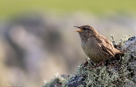 The St Kilda Wren Mike Temple