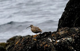Whimbrel on the Shiants Lynsey Bland