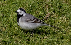 pied wagtail Mick Temple